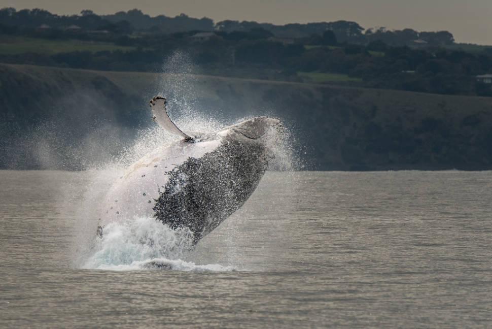 Whale Watching in Victoria in Victoria - Best Season