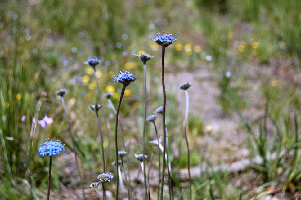 Blue Pincushions in the Brisbane Ranges on a hot day in early November