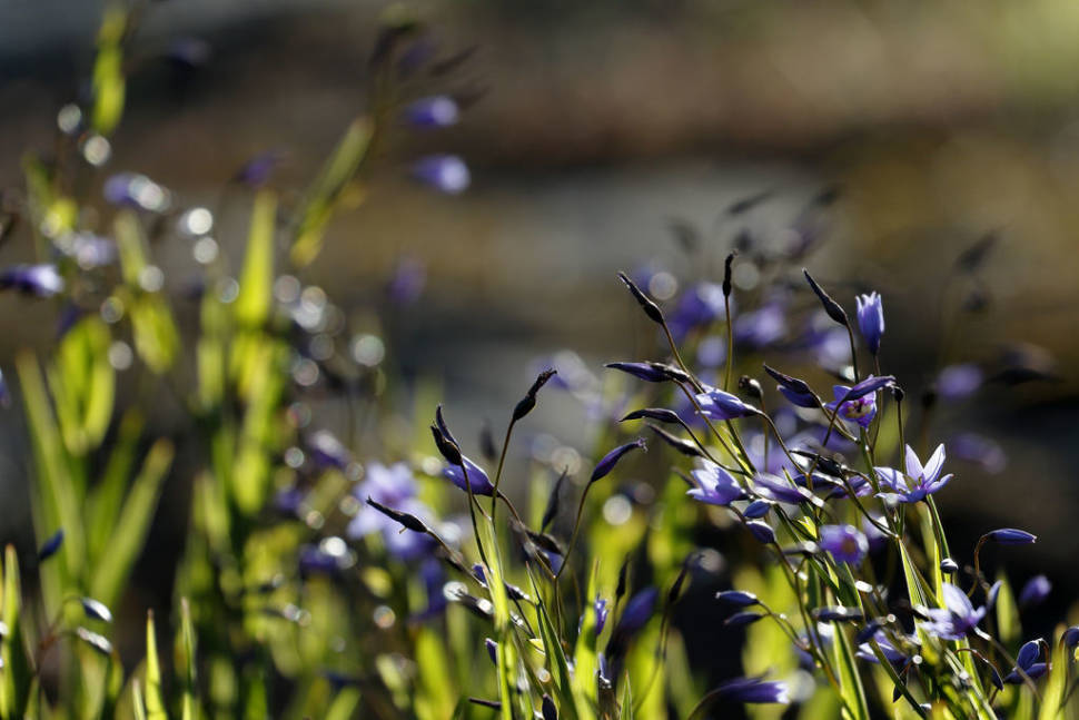 Nodding blue lily (Stypandra glauca) at Mount Arapiles, Victoria