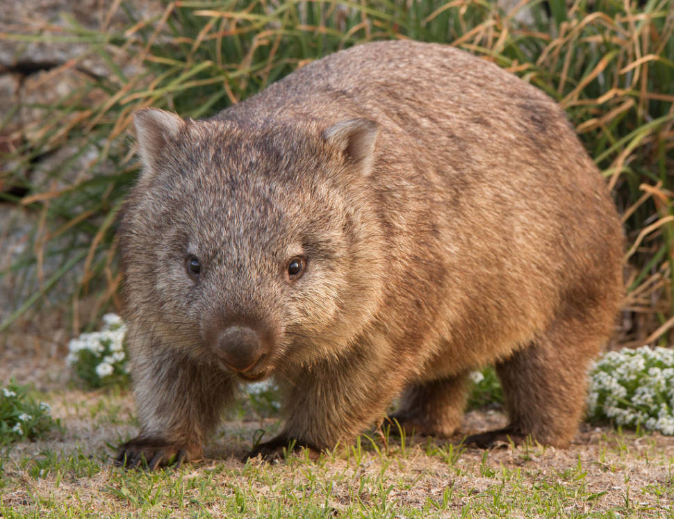 Wombat Watching in Victoria - Best Time