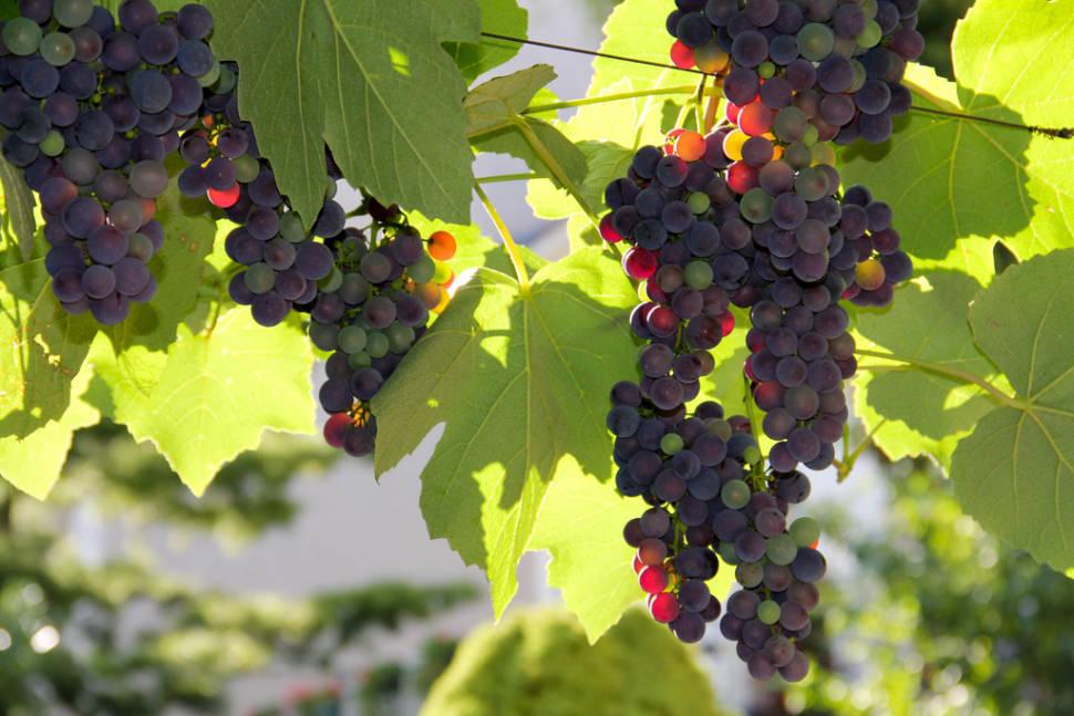 Grape Harvest in Vienna - Best Season