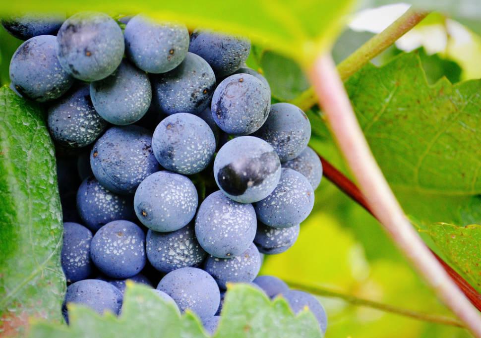 Grape Harvest in Vienna - Best Time