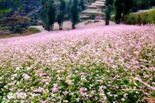 Buckwheat Bloom Season