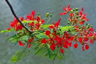 Flamboyant Blooming Season