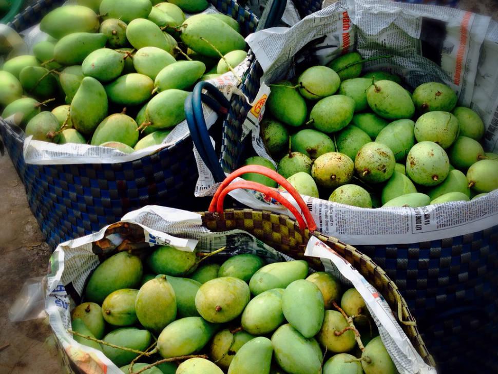 Mango Season in Vietnam - Best Season
