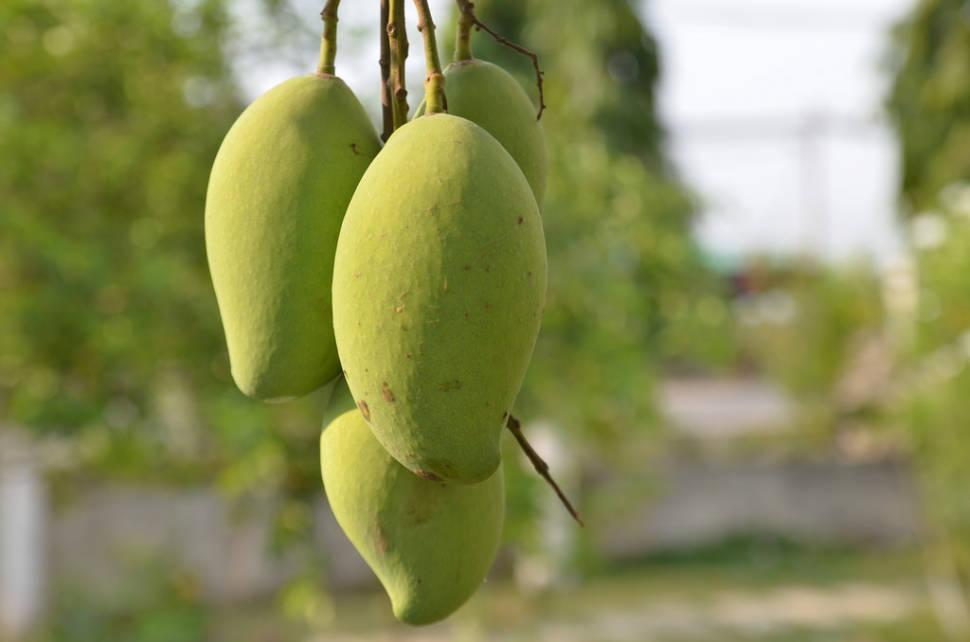 Mango Season in Vietnam - Best Time