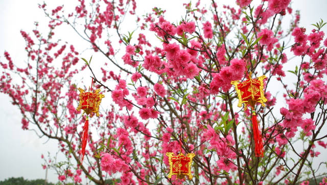 Peach Blossom Season in Vietnam - Best Season
