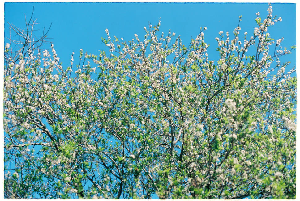 Best time to see Plum Blossom Season in Vietnam