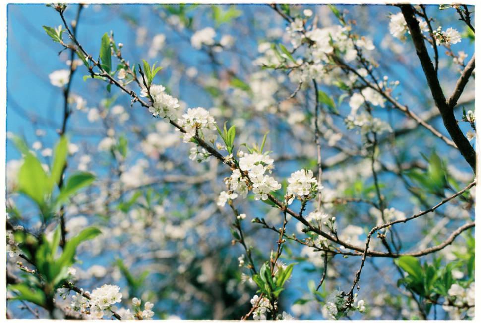 Best time for Plum Blossom Season in Vietnam