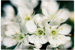 Plum Blossom Season