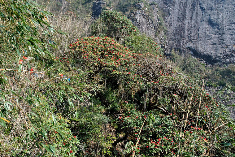 Best time to see Rhododendron Blooming Season in Vietnam