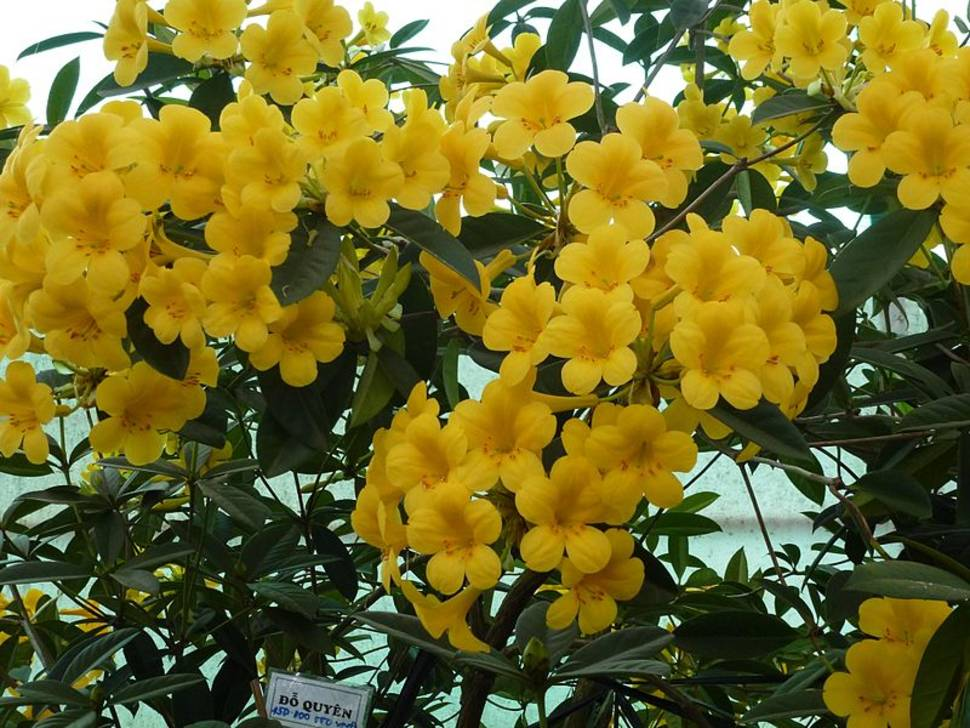 Best time for Rhododendron Blooming Season in Vietnam