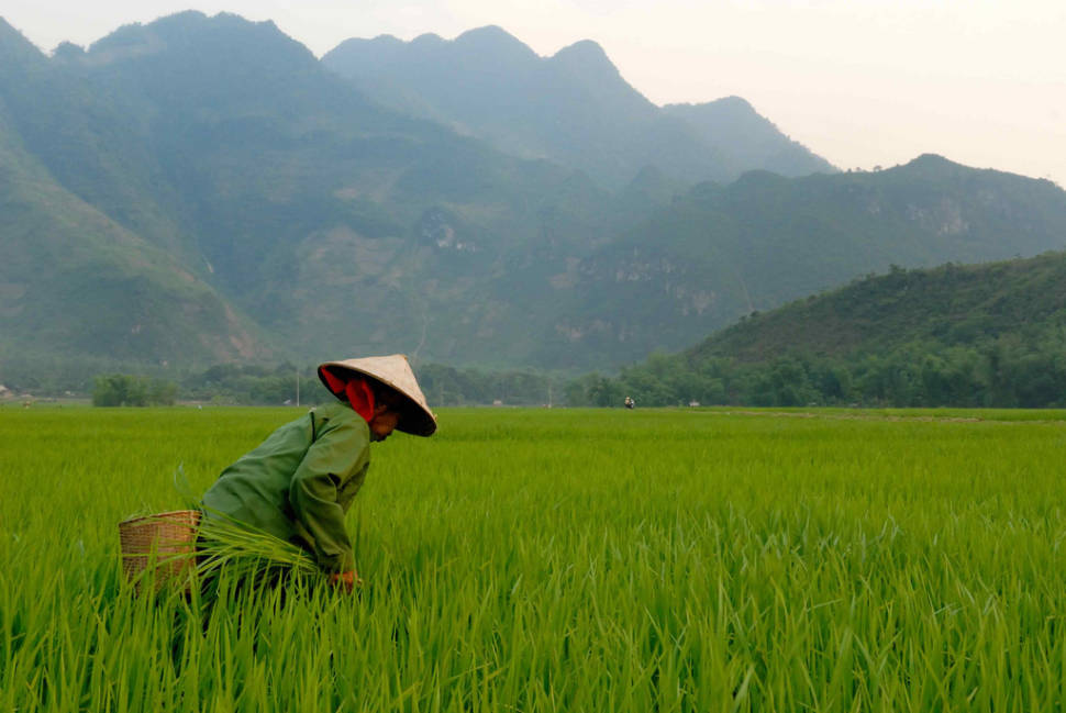Rice Harvest Season in Vietnam - Best Time