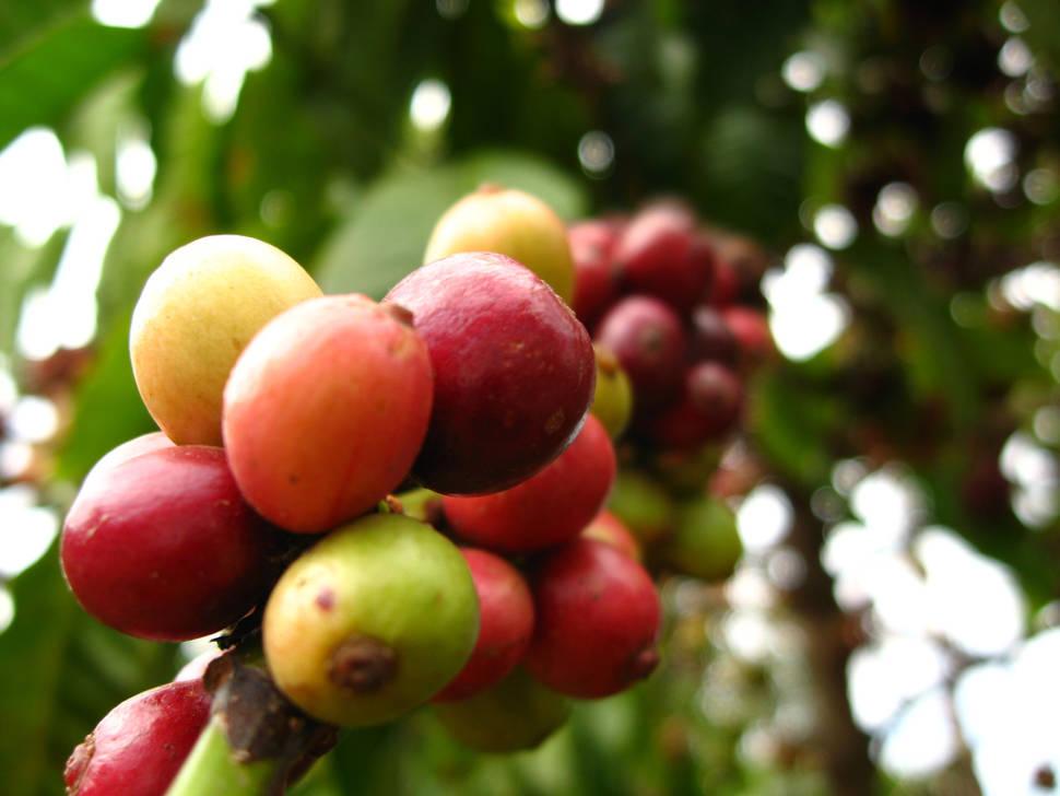 Vietnamese Coffee Harvest in Vietnam - Best Time