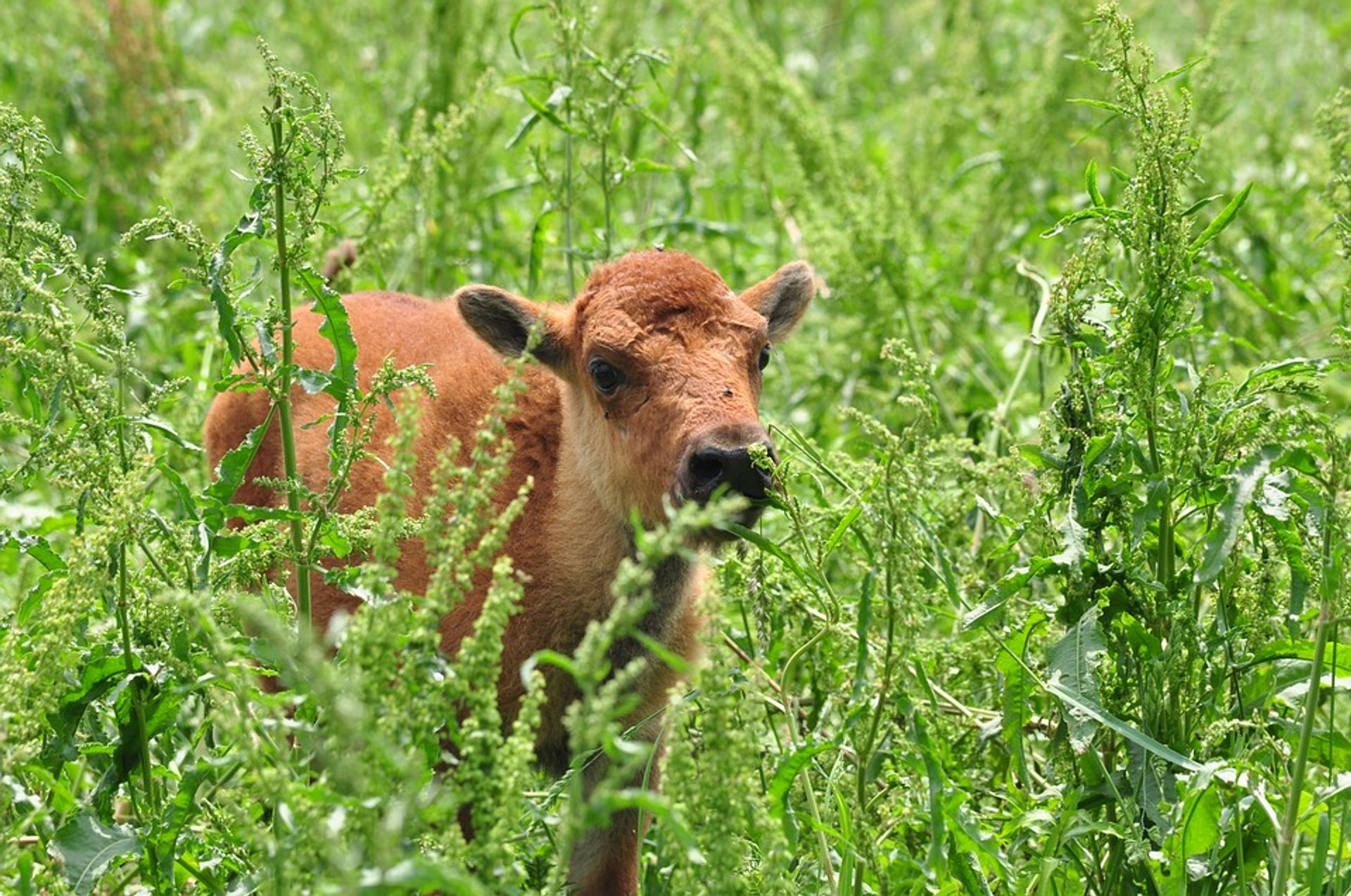 Baby Bison in the Theodore Roosevelt National Park in Midwest 2020 - Best Time