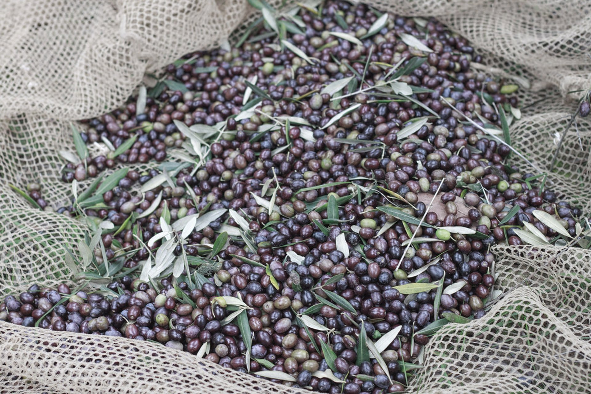 Best time for Olive Harvest in Tuscany 2020