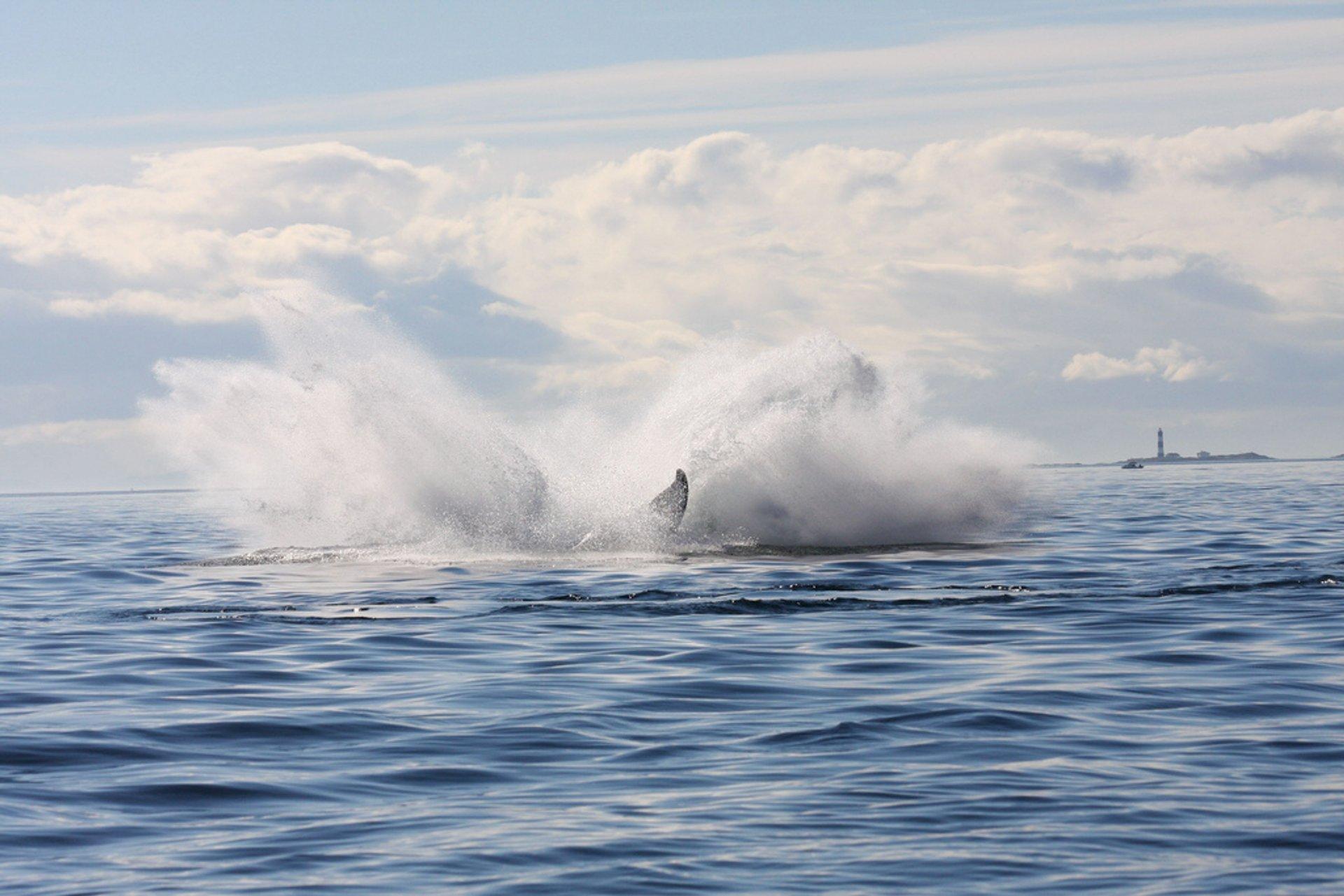 Humpback whale breaching 2020