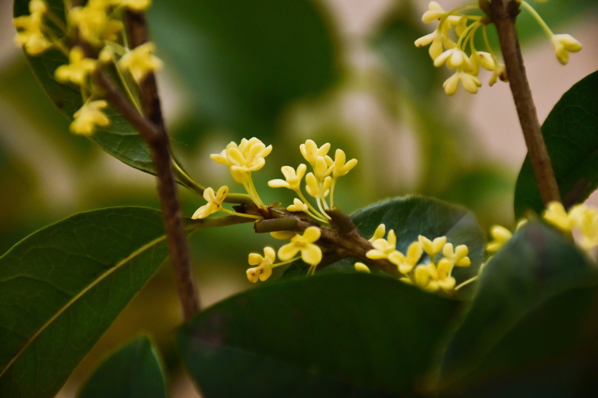 Sweet Osmanthus in Bloom in China 2020 - Best Time