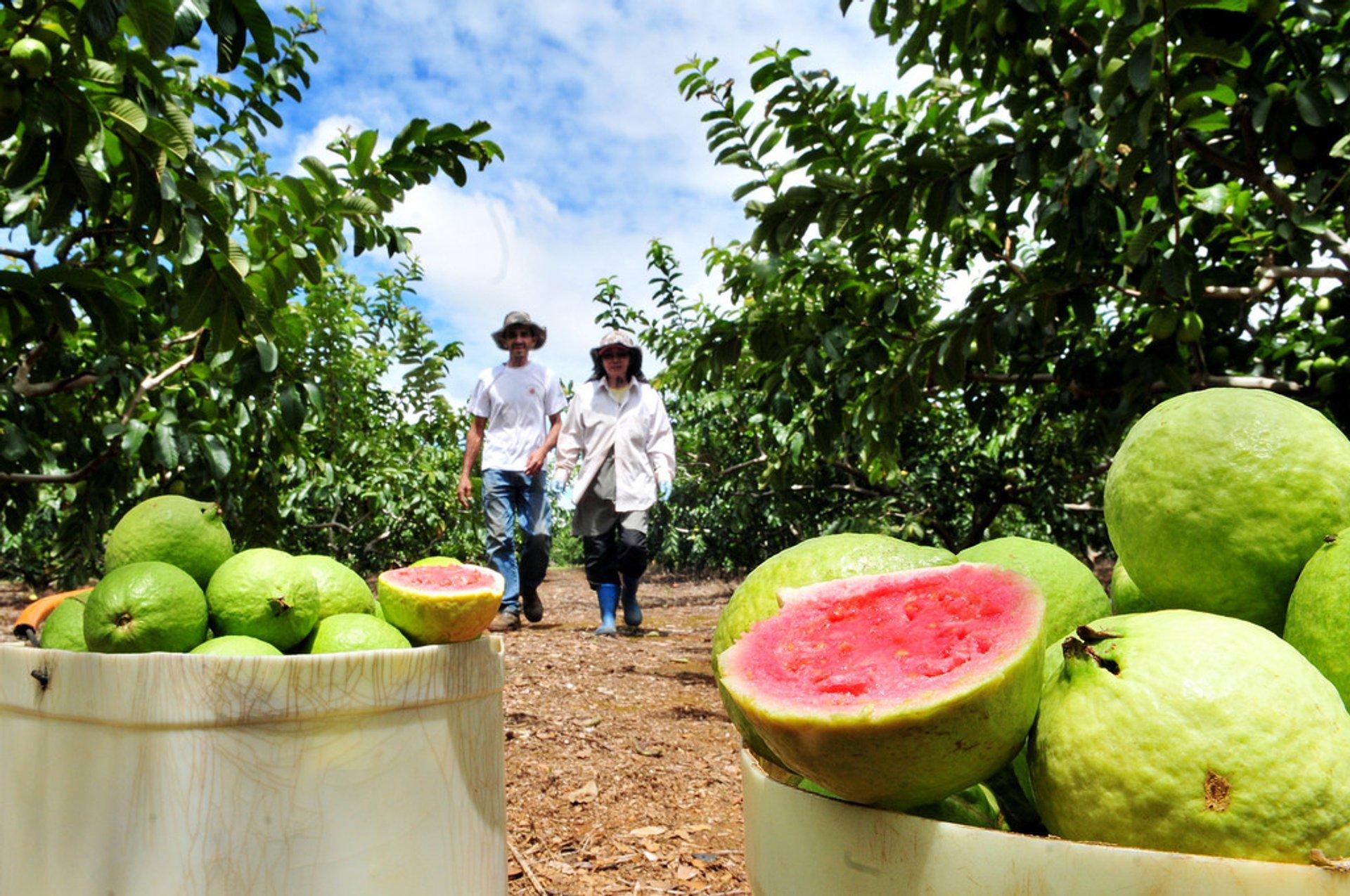 Best time for Guava or Goiaba in Rio de Janeiro 2020