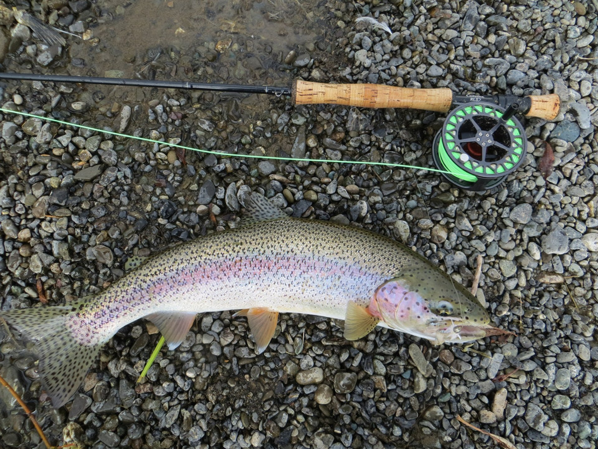 Rainbow Trout 2019