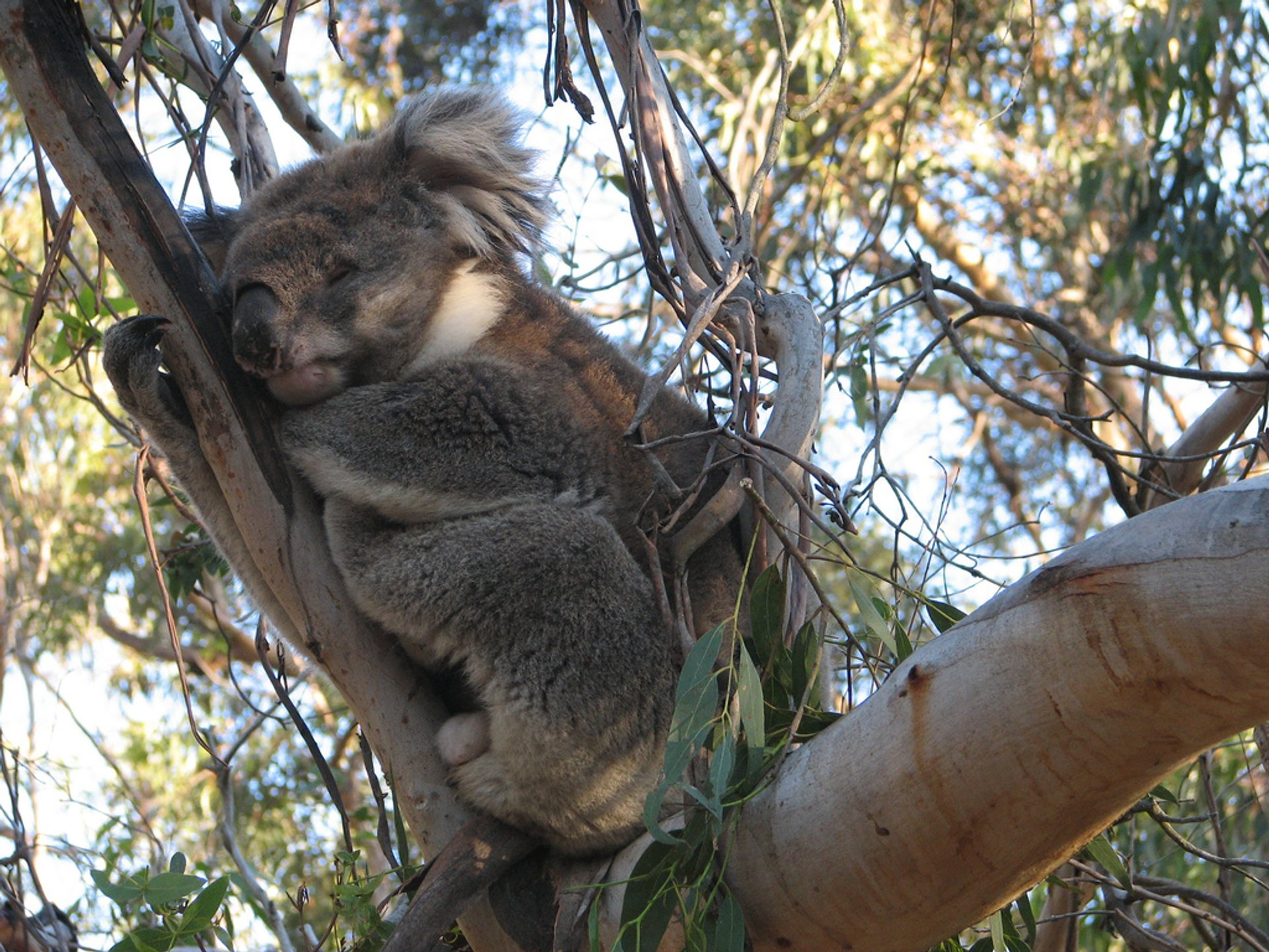 Best time to see Koalas in Victoria 2019