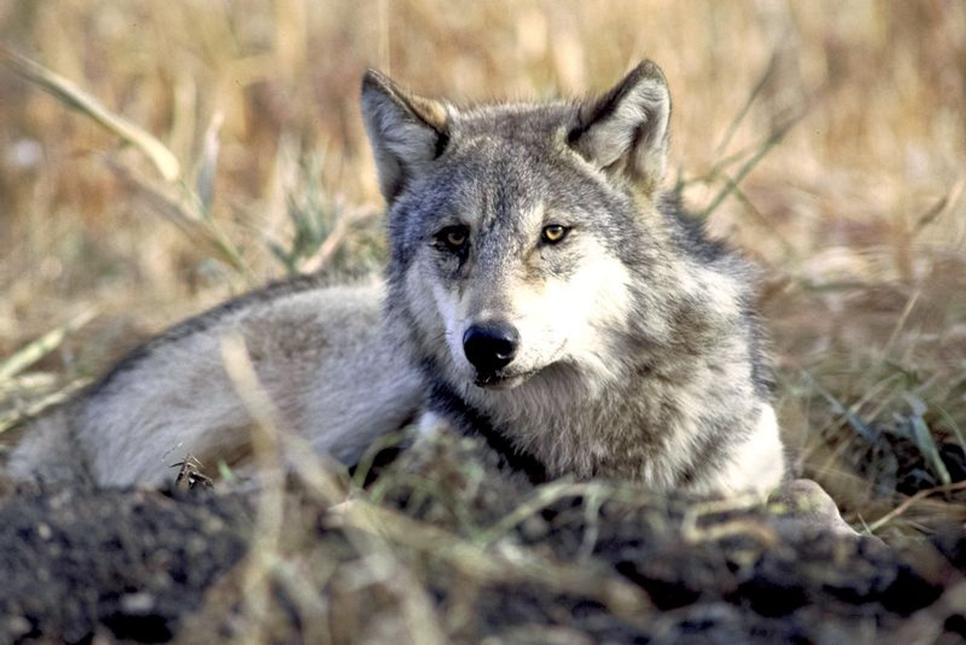 Wolves and Other Wild Animals in Cappadocia 2019 - Best Time
