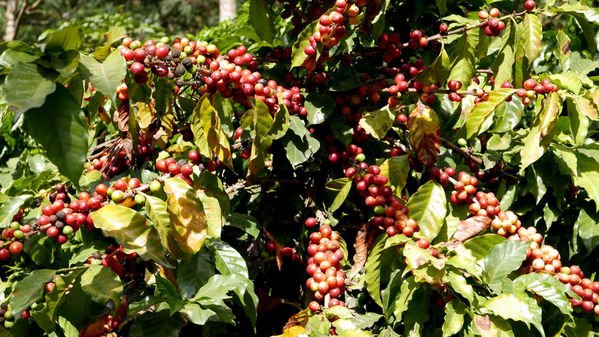 Best time for Coffee Harvest in Honduras