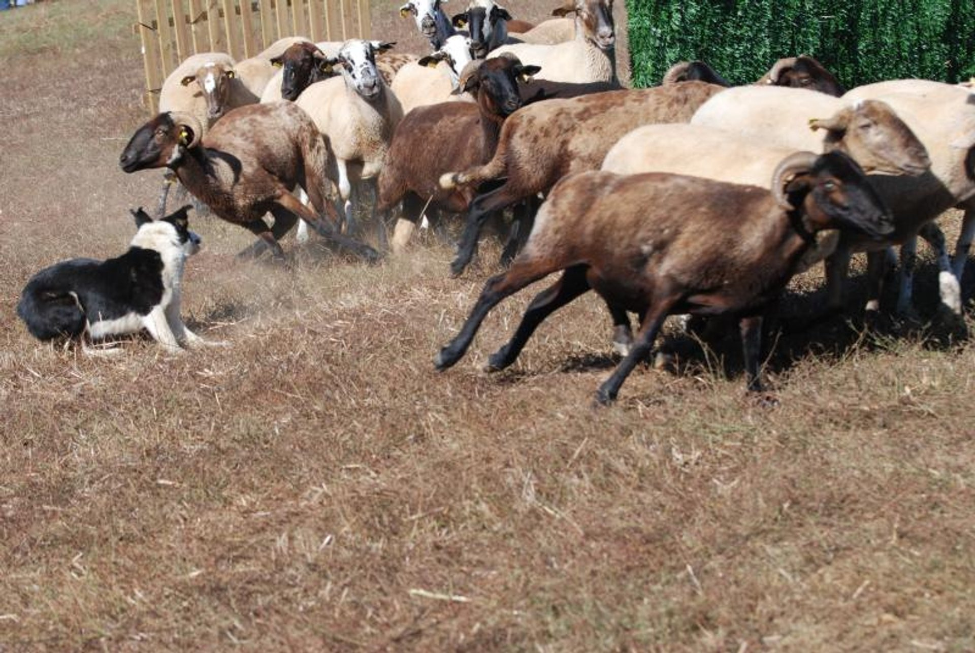 """Best time for """"Gossos d'Atura"""" (Sheep Dog) Competitions in Barcelona 2020"""