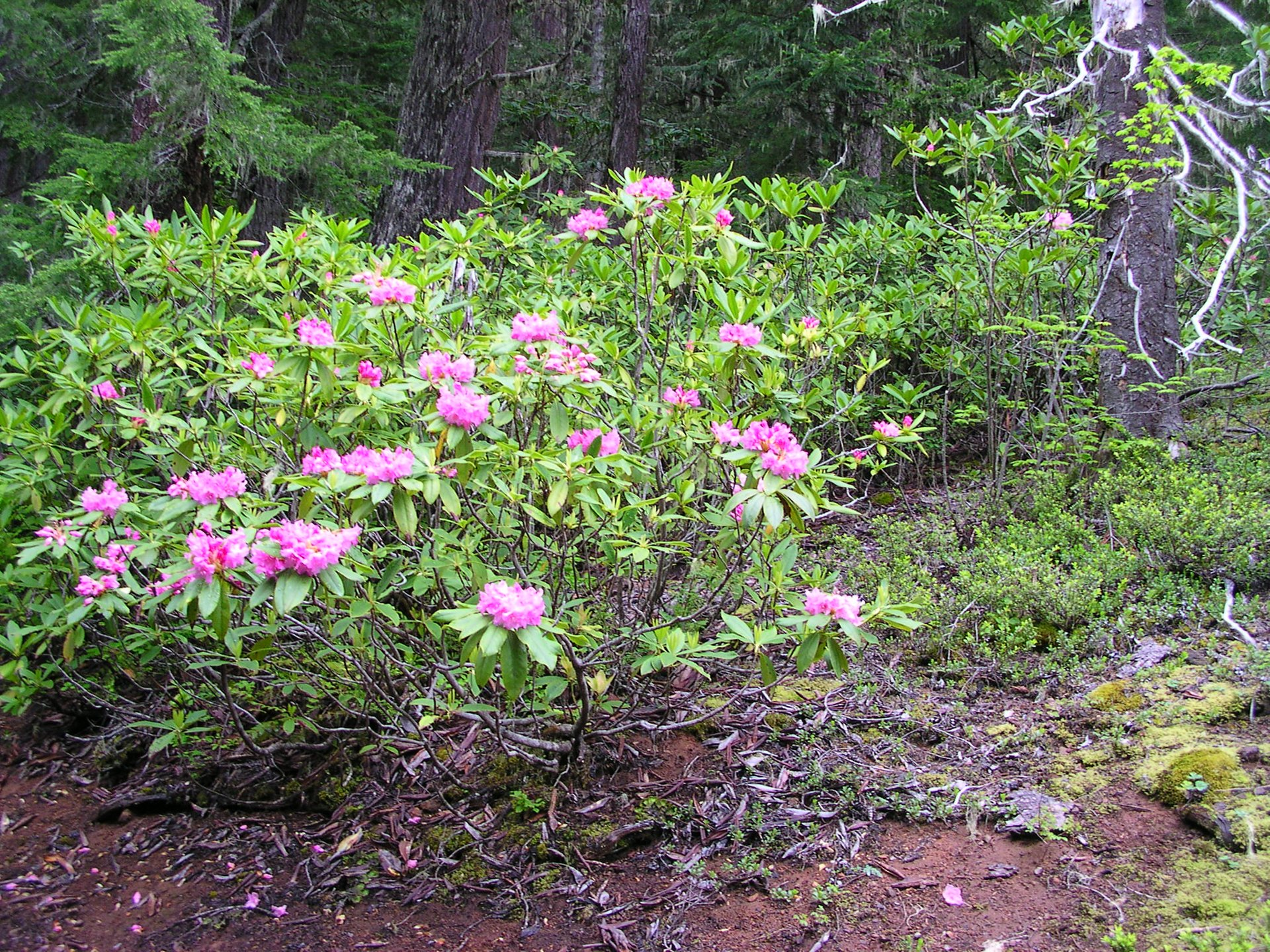 Pacific Rhododendron in Washington 2020 - Best Time