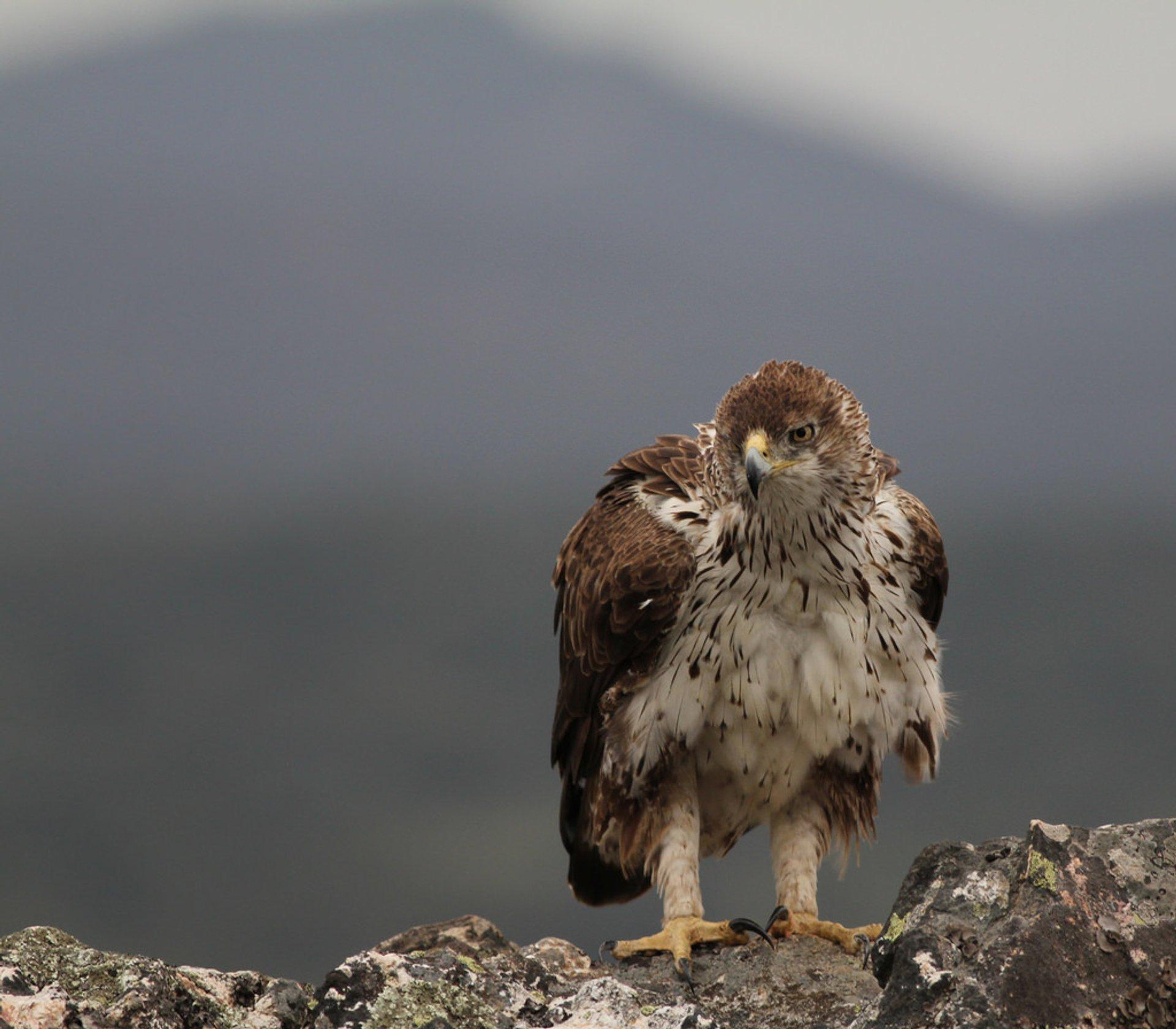 Bonelli's Eagle in Sierra de San Pedro, Extremadura