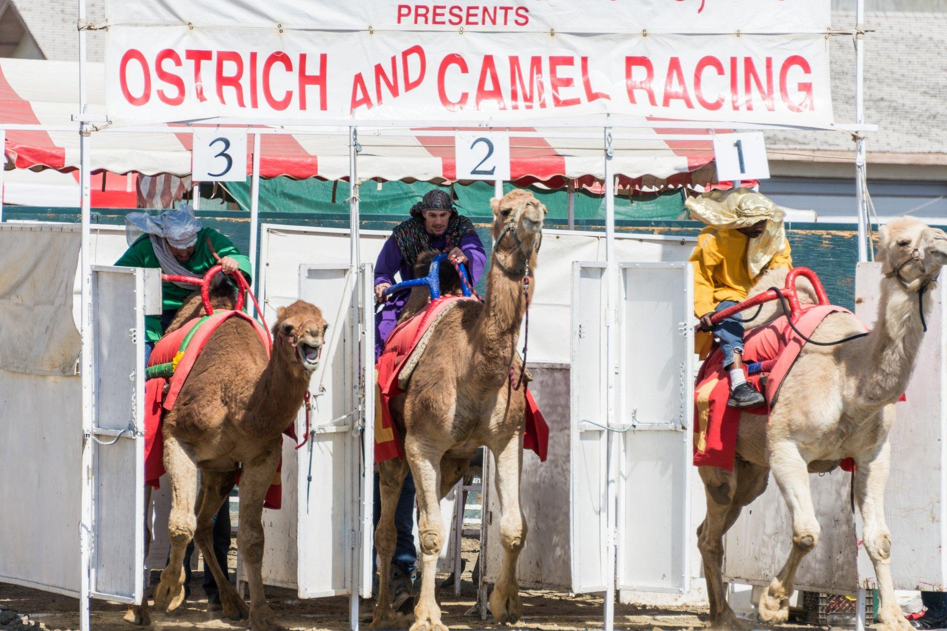Camel Races 2020