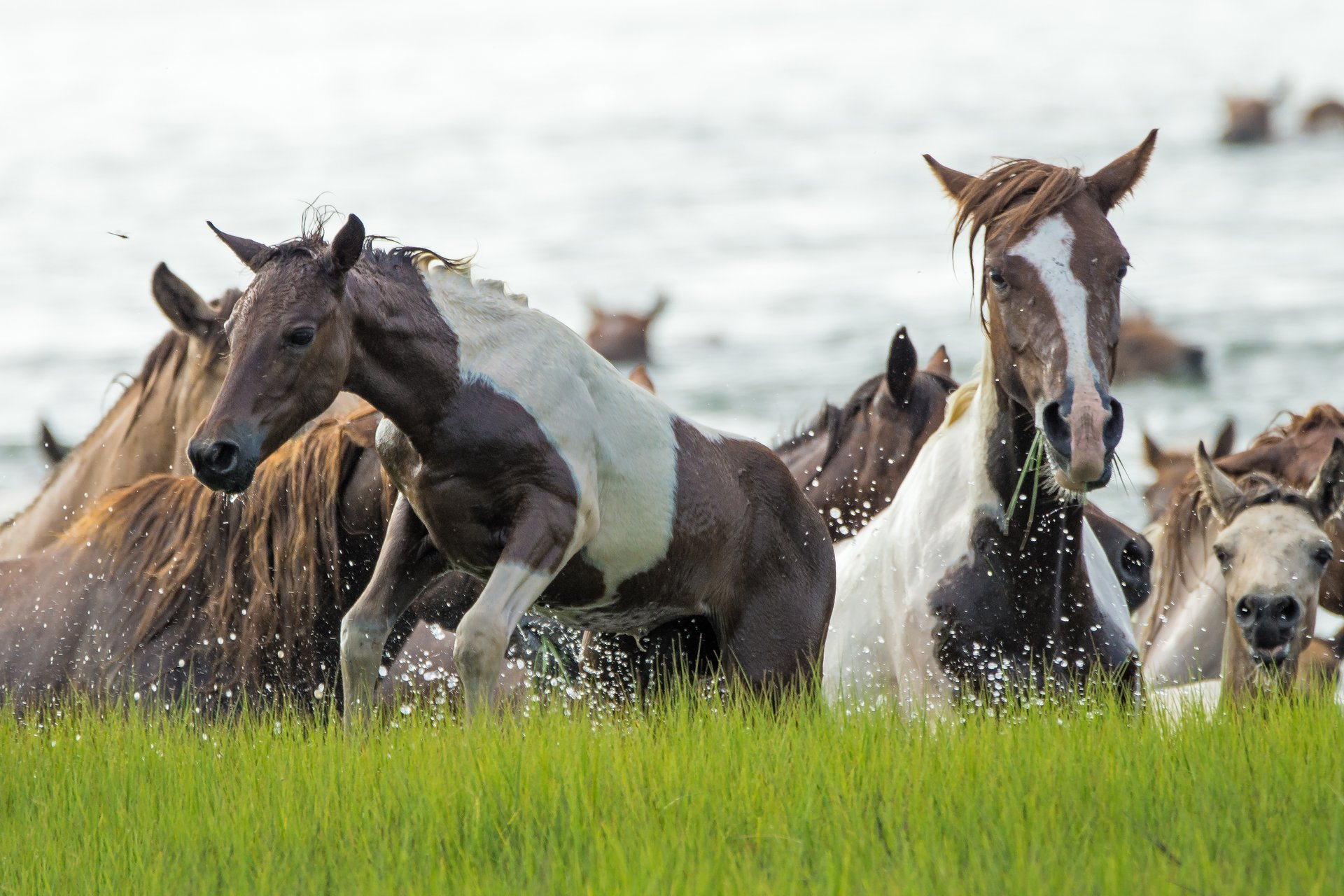 Chincoteague Pony Swim in Virginia 2020 - Best Time