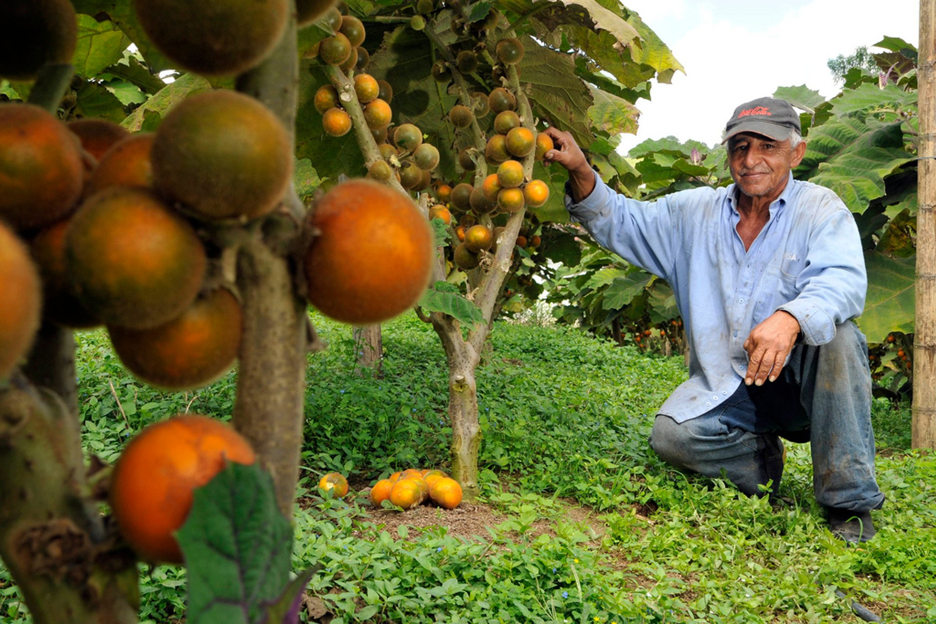 A lulo farmer with his crop of fruit growing in Darién, Colombia 2019