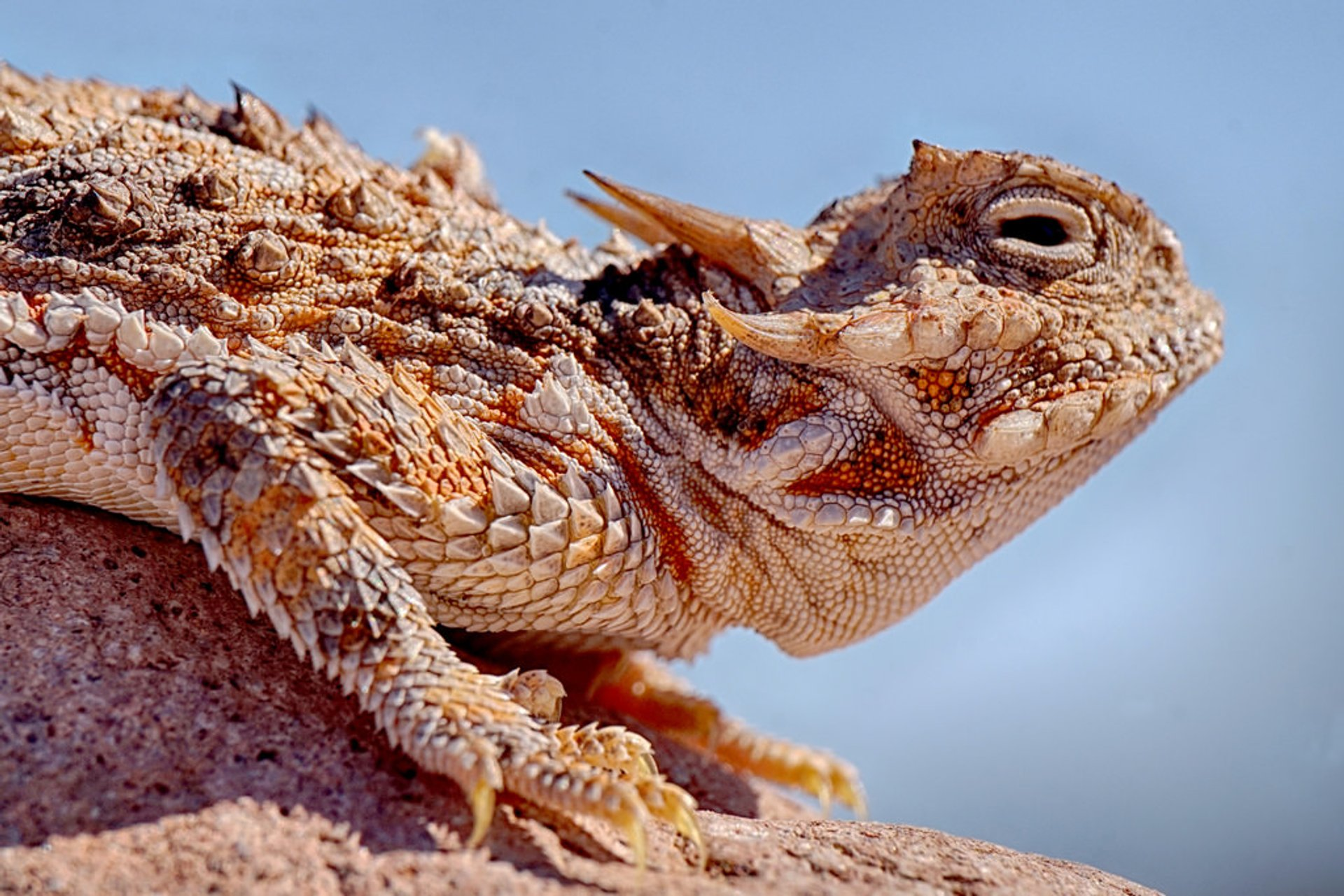 Blood-Shooting Lizards in Arizona 2020 - Best Time