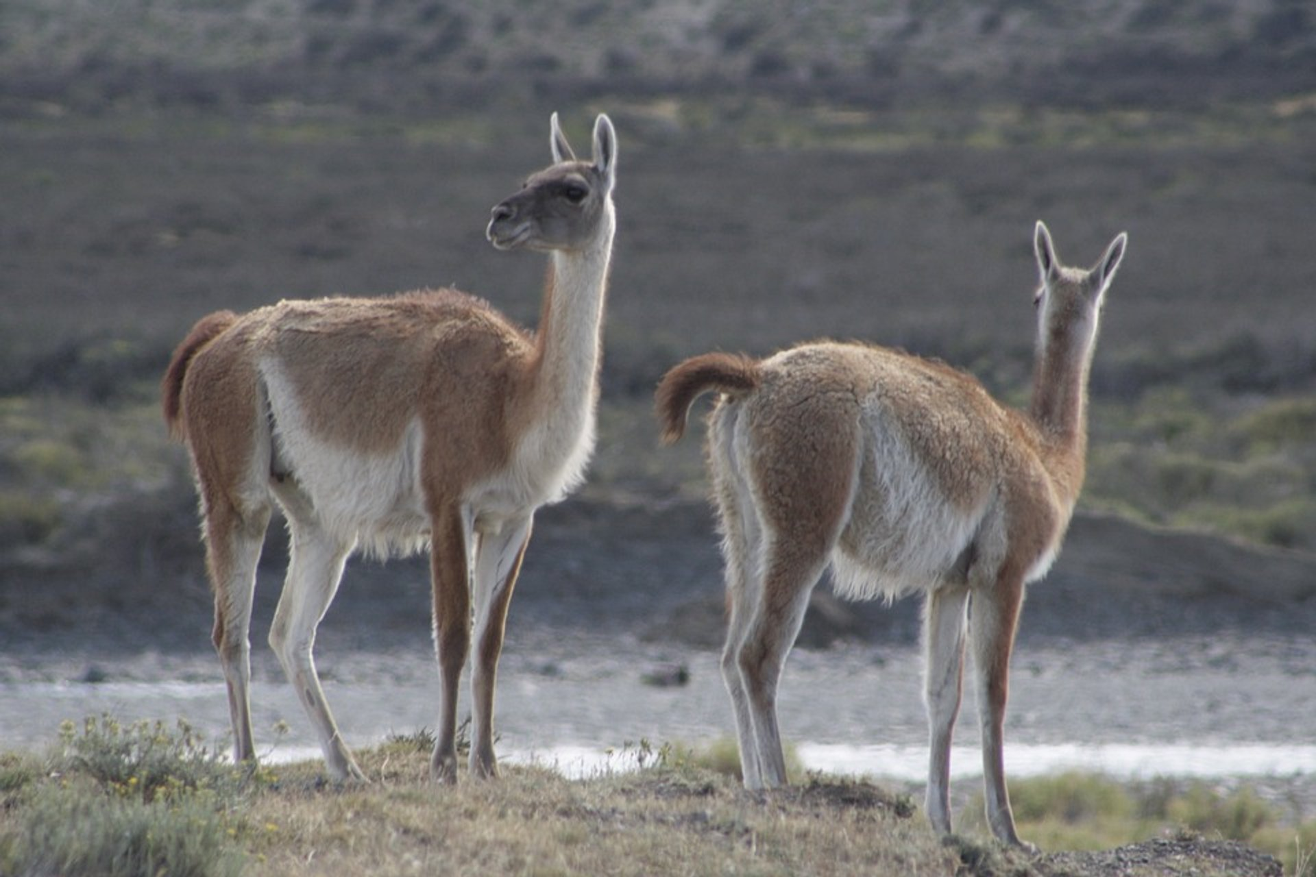 Guanaco Fighting in Argentina - Best Season