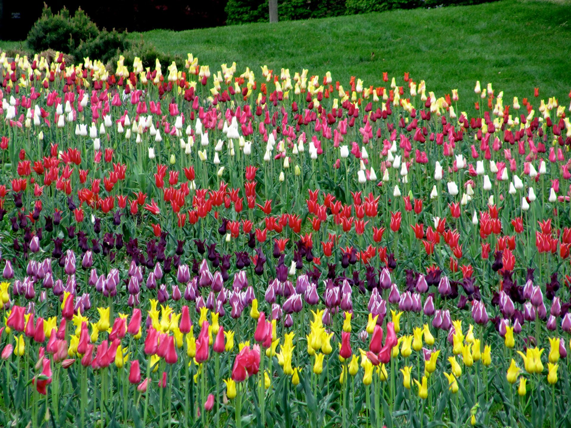 Tulip Festival Holland Michigan 2020.Tulip Time 2020 In Midwest Dates Map