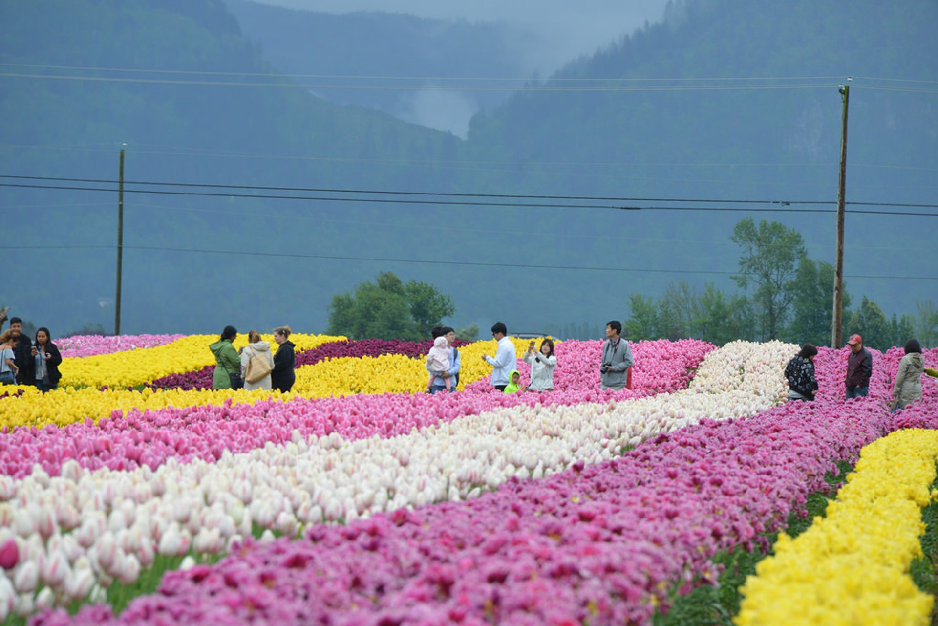 Best time for Abbotsford Tulip Festival in British Columbia 2020