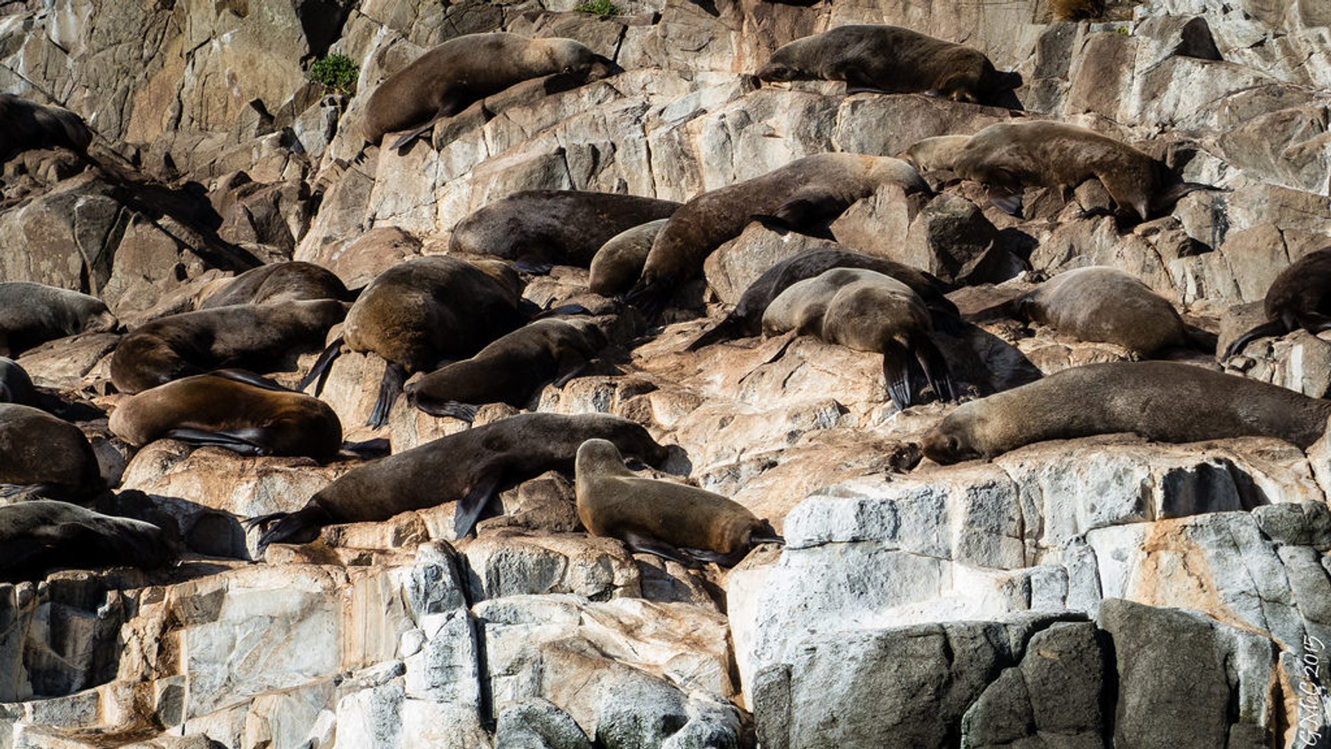 Fur seals in Hobart 2020