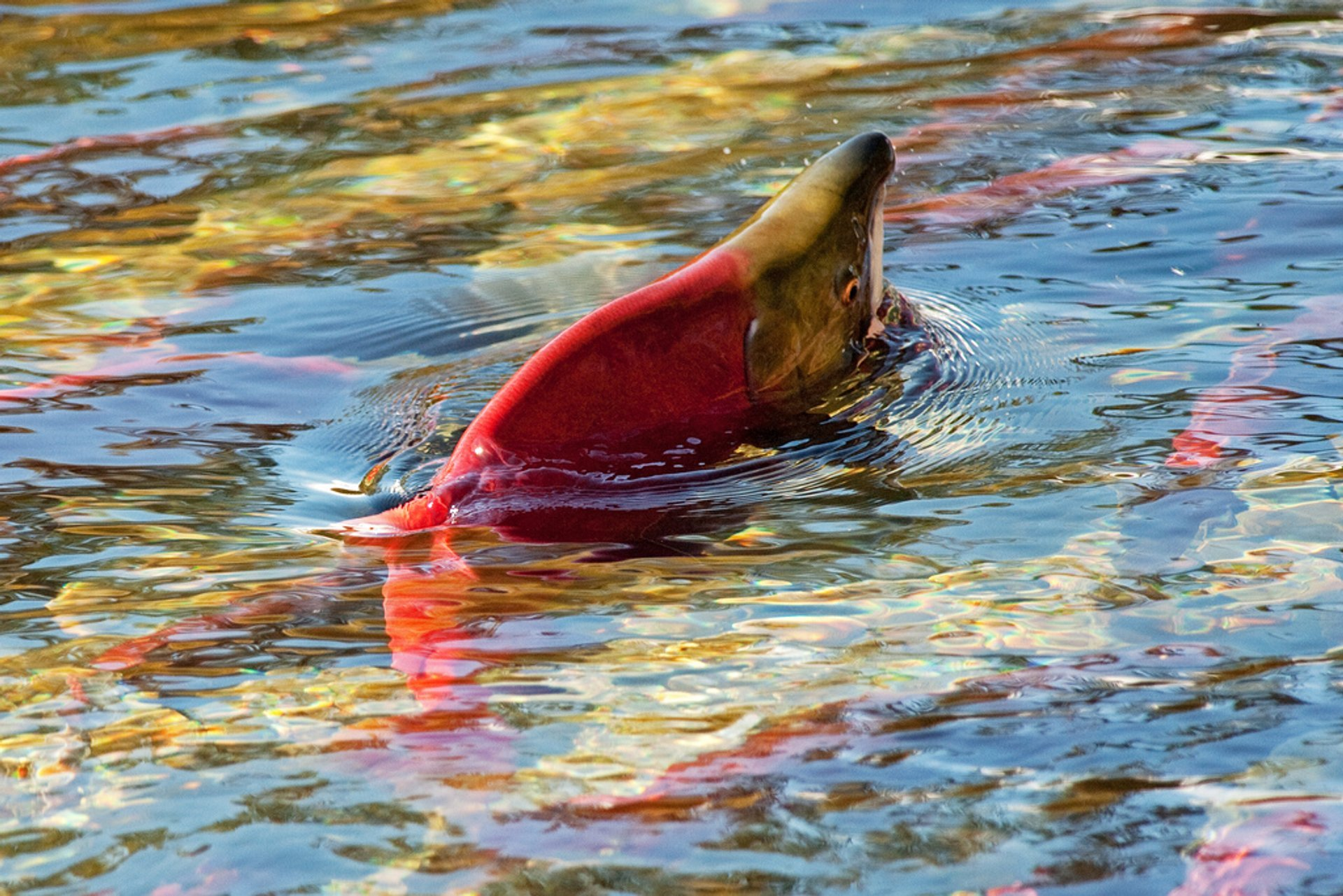 Salmon Run in British Columbia - Best Time