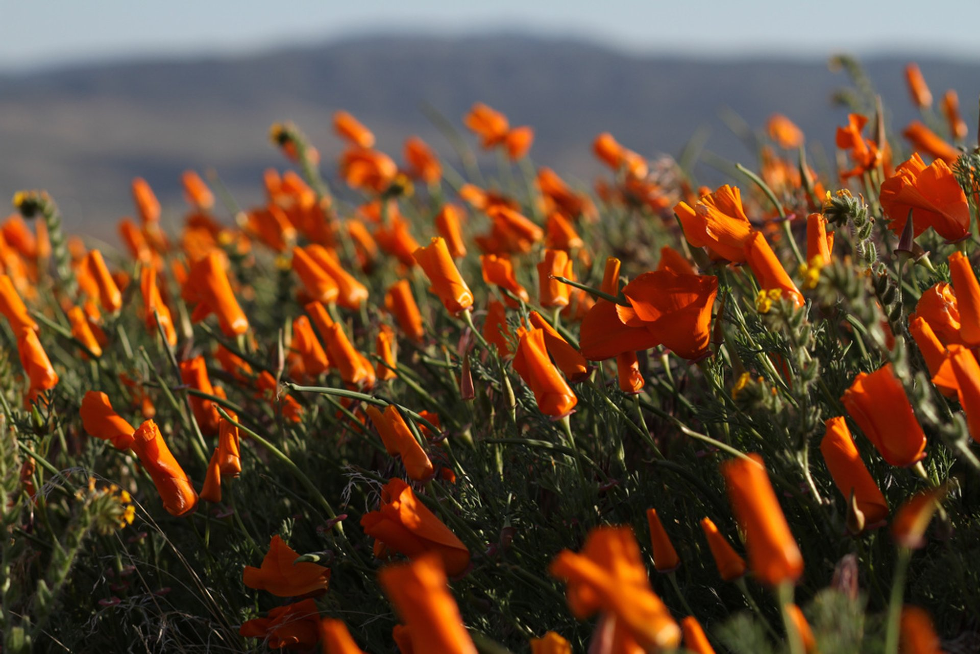 Antelope Valley California Poppy Reserve in California 2019 - Best Time