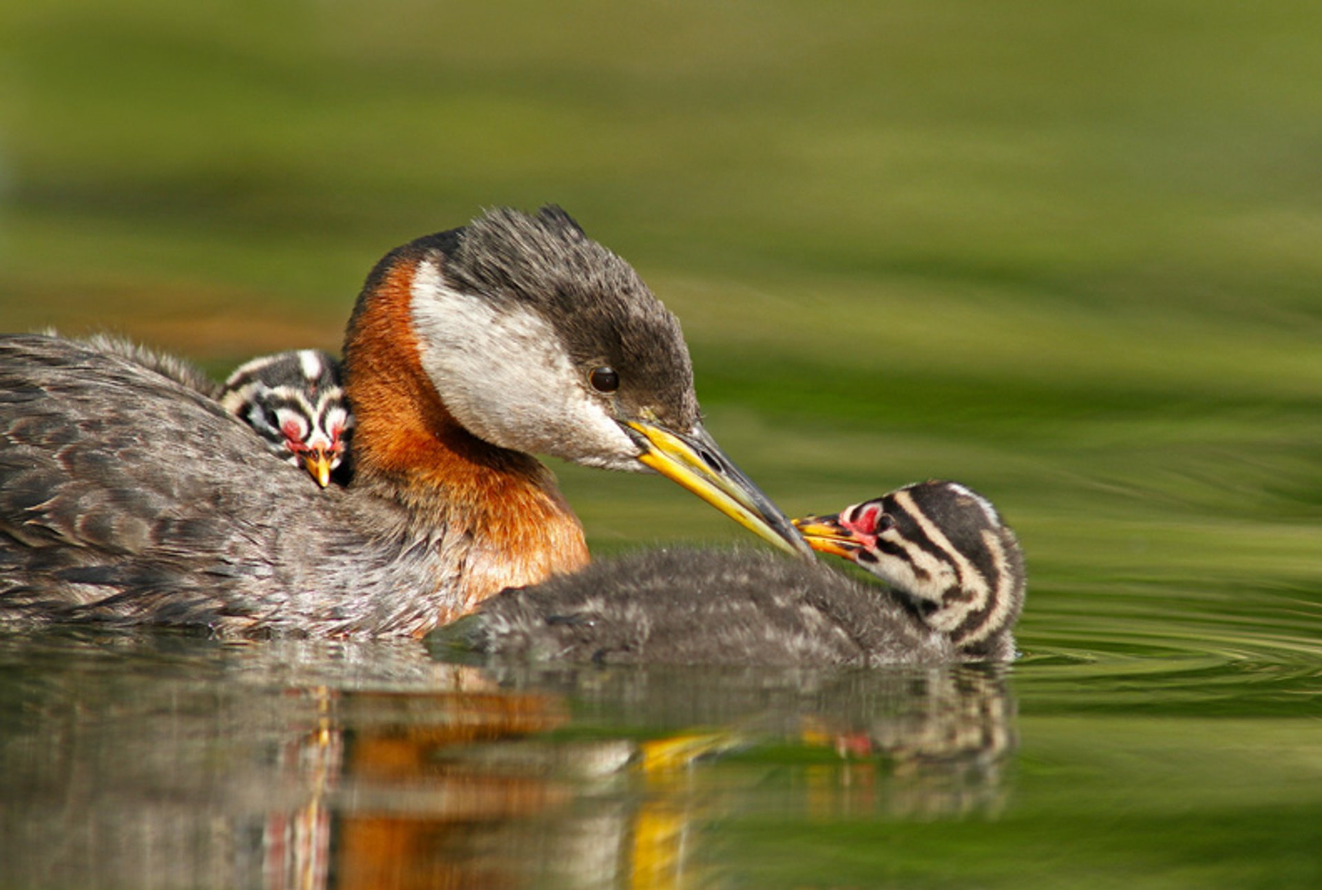Red Necked Grebe & Chicks 2019