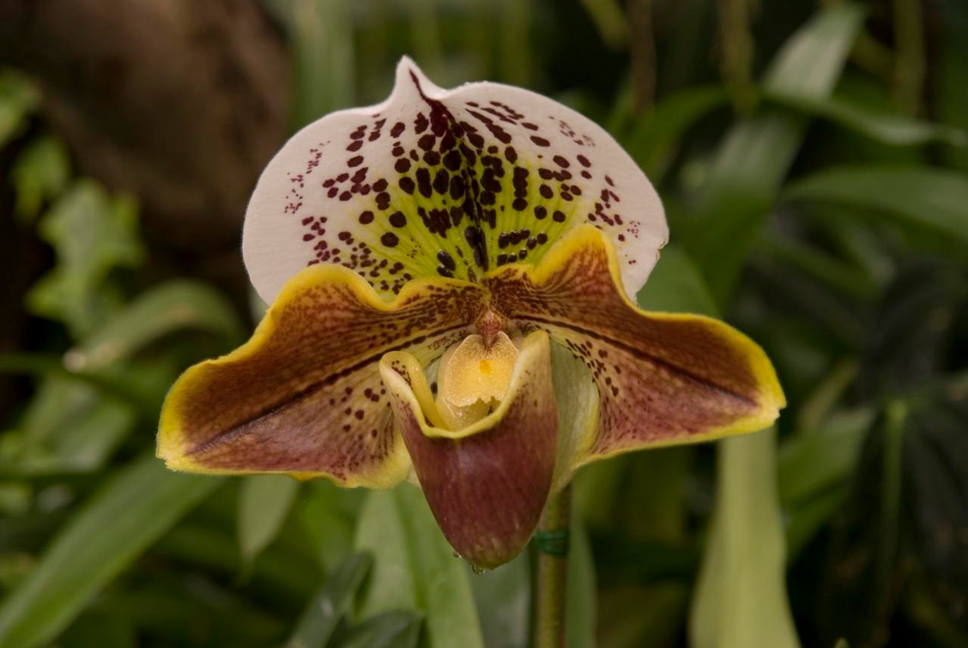 """Lady Slipper"" Orchid for Christmas in Madeira 2020 - Best Time"