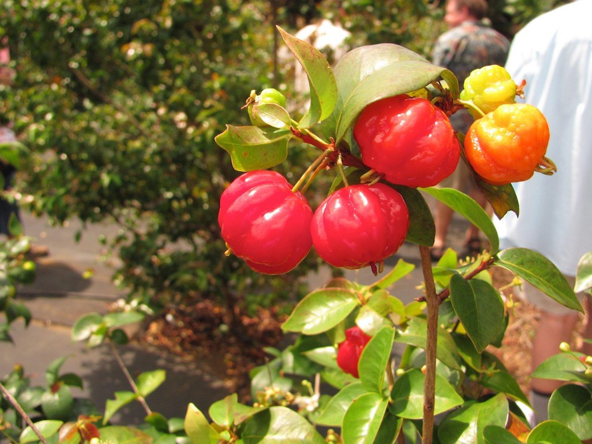 Surinam Cherry in Hawaii - Best Season 2019