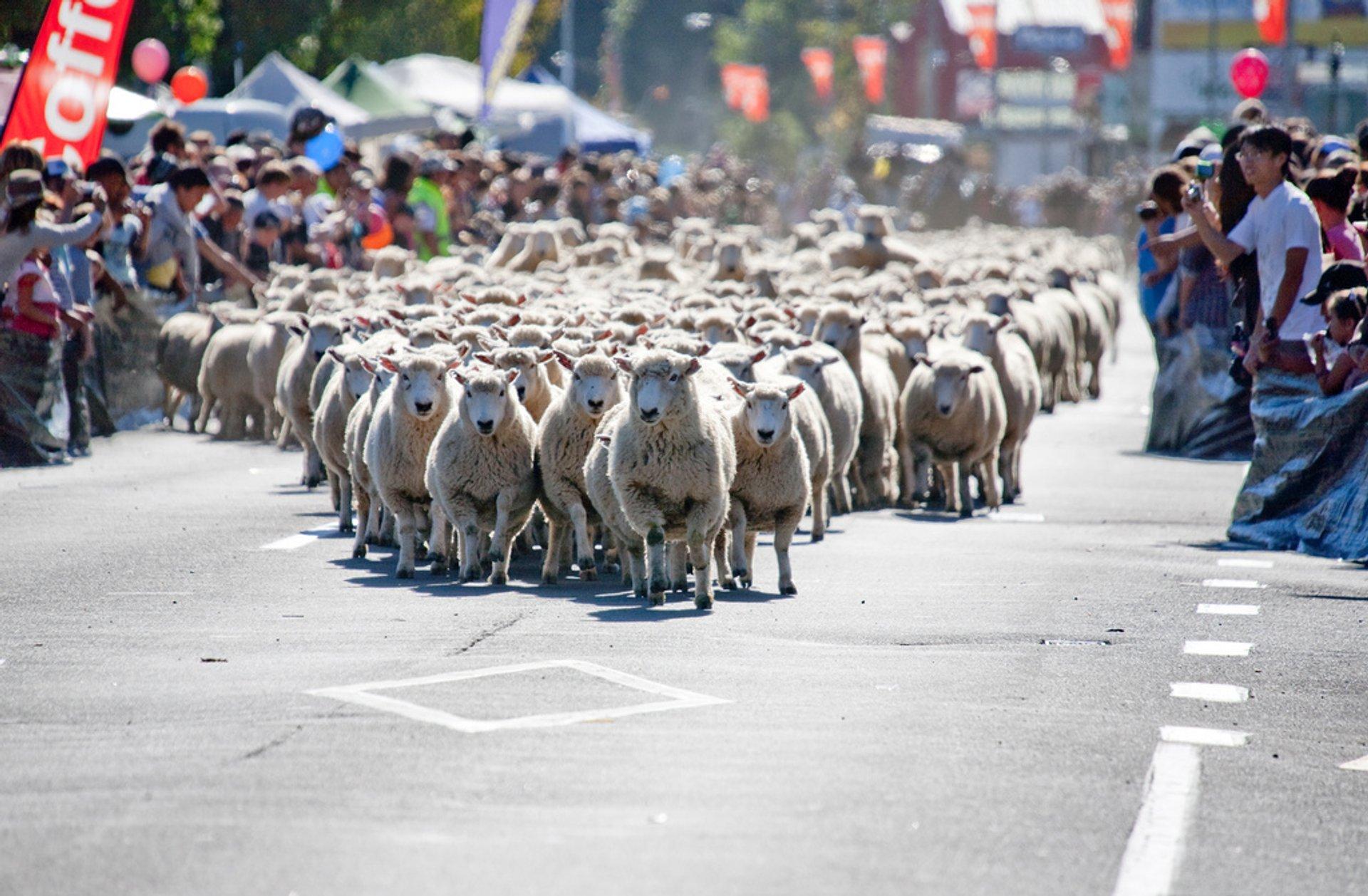 Great New Zealand Muster in New Zealand - Best Season 2020