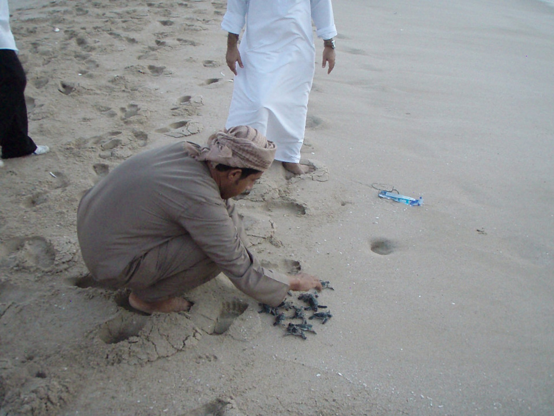 Baby turtles being released at Ras al-Jinz turtle reserve 2020