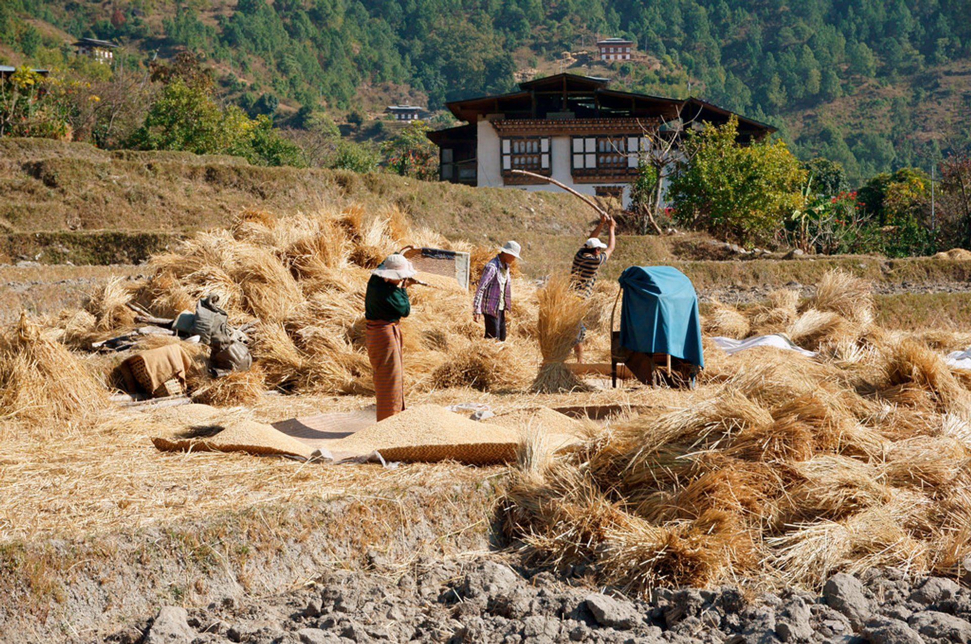 Rice Harvest in Bhutan - Best Season 2019