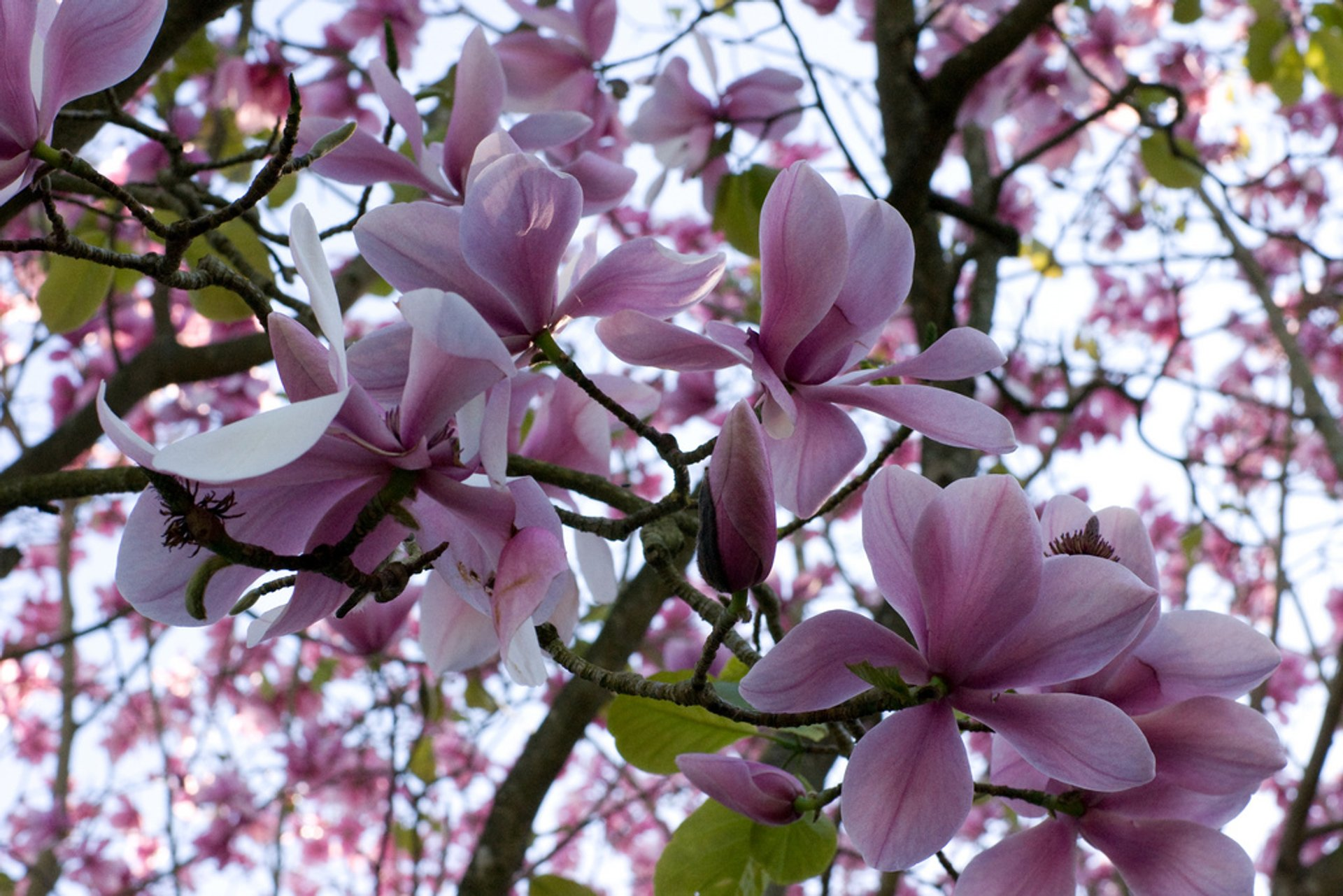 Magnolias in San Francisco Botanical Garden in San Francisco 2020 - Best Time