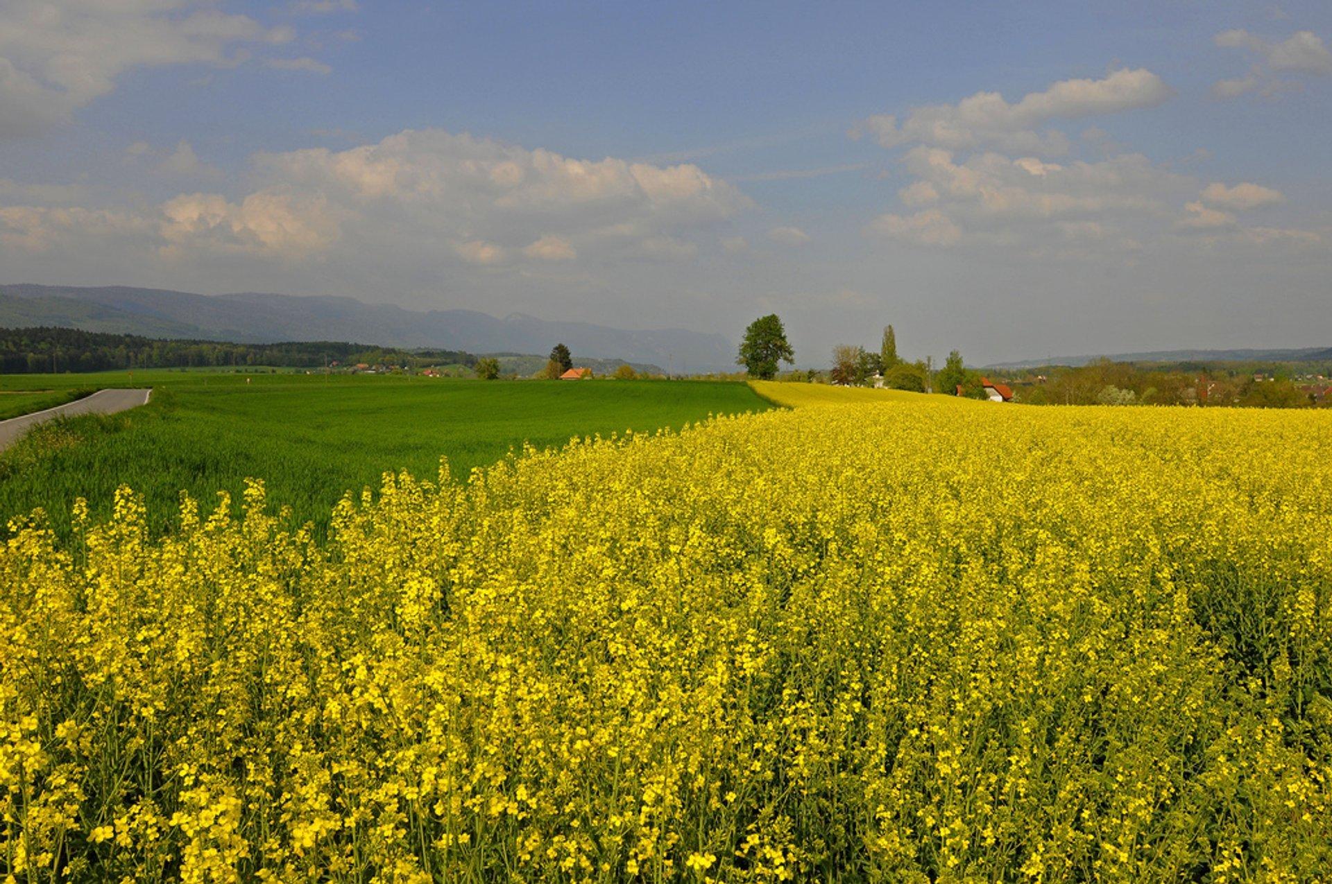 Mustard Fields in Bloom in Switzerland - Best Season
