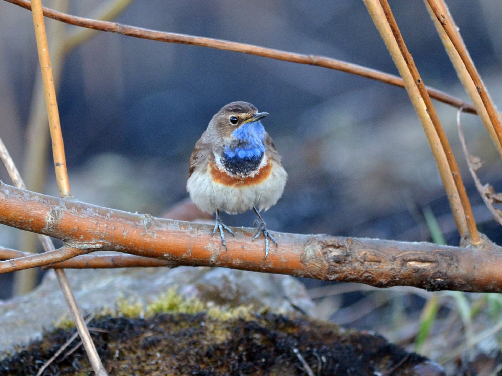 Bluethroat Watching in Madrid - Best Season 2020