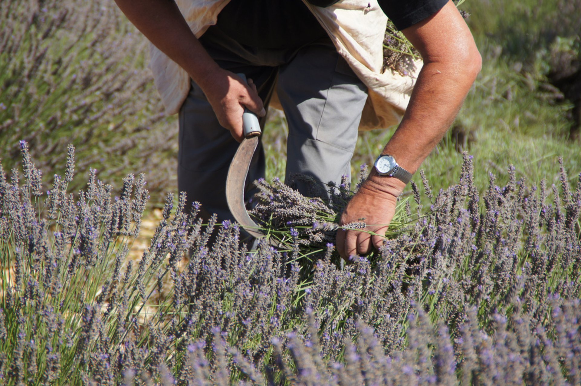 Best time to see Lavender Fields in Bloom in Provence & French Riviera